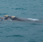 Southern Right Whale - SA Whale Centre - May 2014