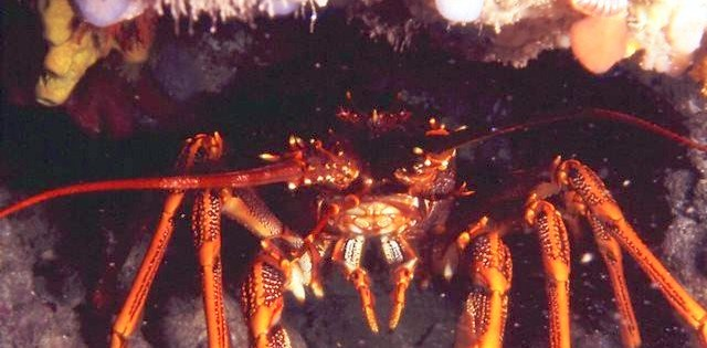 The Southern Rock Lobsters at Margaret Brock Reef