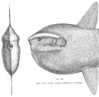 mola mola historic sunfish image montage