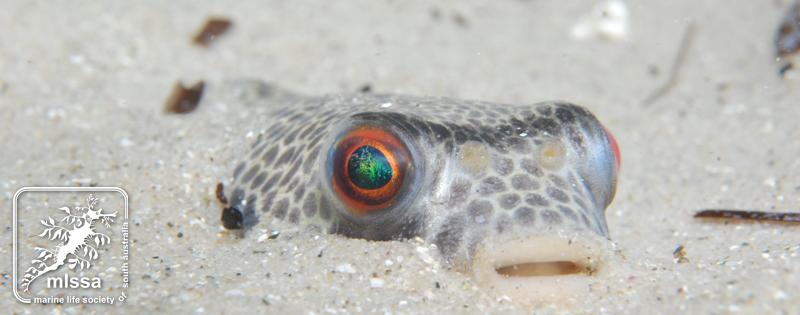 smooth toadfish buried in sand david muirhead