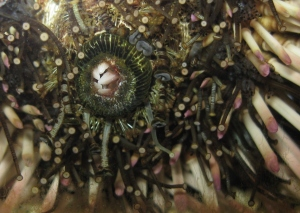 Underside of a purple sea urchin, teeth closed