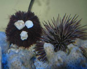 Heather's purple sea urchins, 'Porky' and 'Spike'.