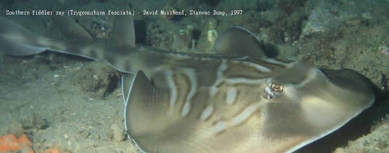 Southern fiddler ray - Stanvac Dump, David Muirhead 1997