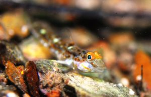 Gobies @ Rapid BayJs can have gold irises or eyebrows!(prob Groovedcheek);02-04-2016;DSM(cr)i152[1990]