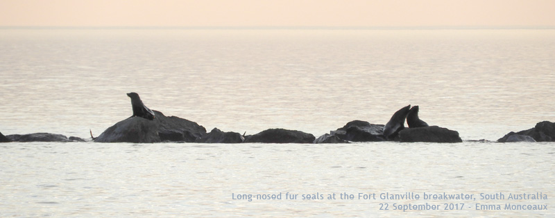Long-nosed fur seals at Fort Glanville breakwater, SA - Emma Monceaux