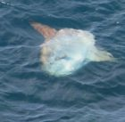Sunfish approaches the surface in a horizontal position